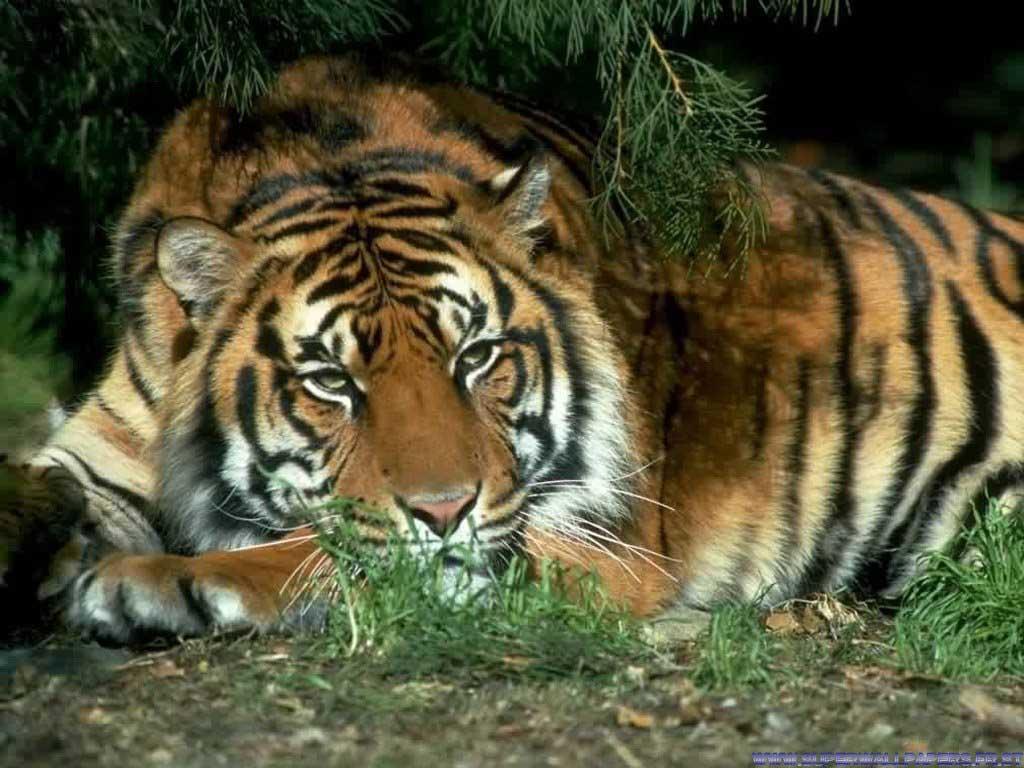 Tigres%2004